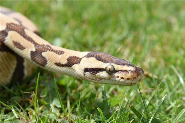 【꿈해몽】꿈속에서 많은 뱀의 의미와 상징