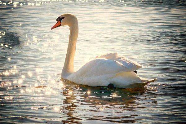 백조가 꿈에서 호수를 방황한다는 것은 무엇을 의미합니까? 꿈의 점