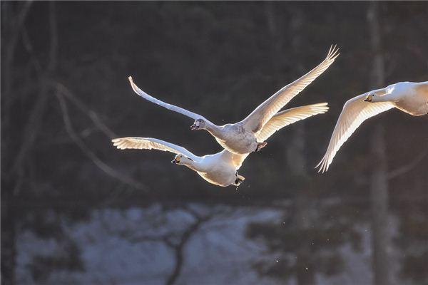 백조가 꿈에서 하늘을 날다는 것은 무엇을 의미합니까? 꿈의 점