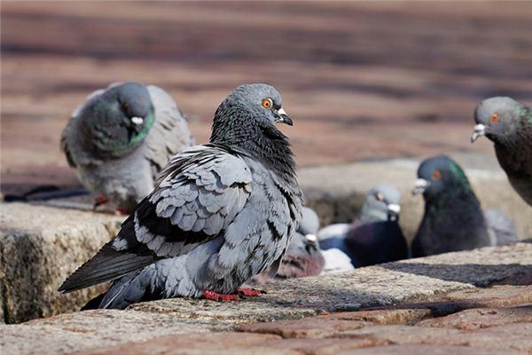 【꿈해몽】꿈에서 비둘기를 키우는 의미와 상징