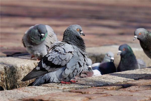 꿈에서 많은 비둘기가 있다는 것은 무엇을 의미합니까? 꿈의 점