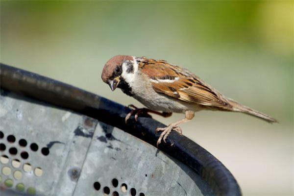 참새가 꿈에서 곤충을 먹는다는 것은 무엇을 의미합니까? 꿈의 점