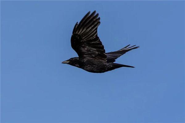 【꿈해몽】꿈에서 원을 그리며 날아 다니는 까마귀의 의미와 상징