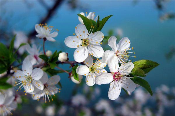 【꿈해몽】꿈속에서 벚꽃의 의미와 상징
