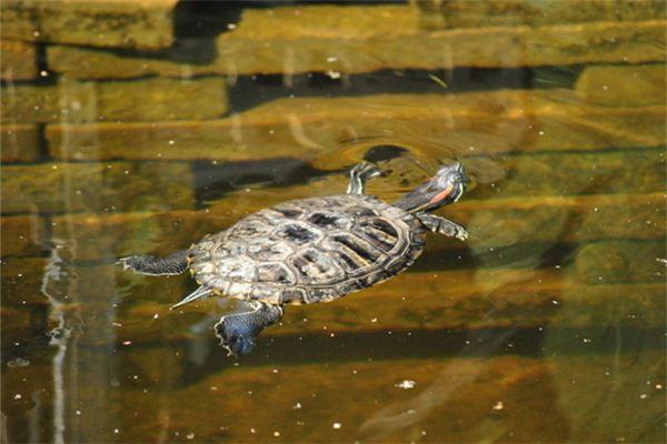 【꿈해몽】꿈속에서 물속에서 헤엄 치는 거북이의 의미와 상징