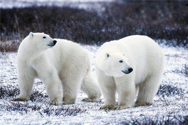 【꿈해몽】꿈에서 북극곰의 의미와 상징