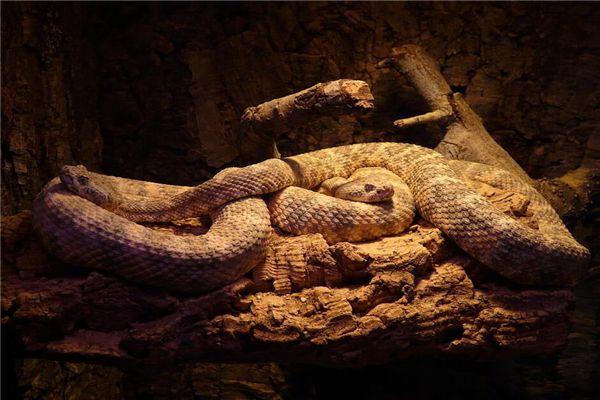 많은 보아 뱀은 꿈에서 무엇을 의미합니까? 꿈의 점