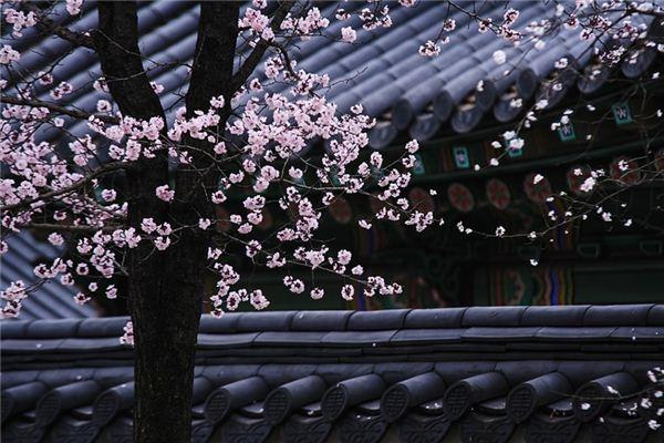 【꿈해몽】꿈속에서 매화 나무의 의미와 상징