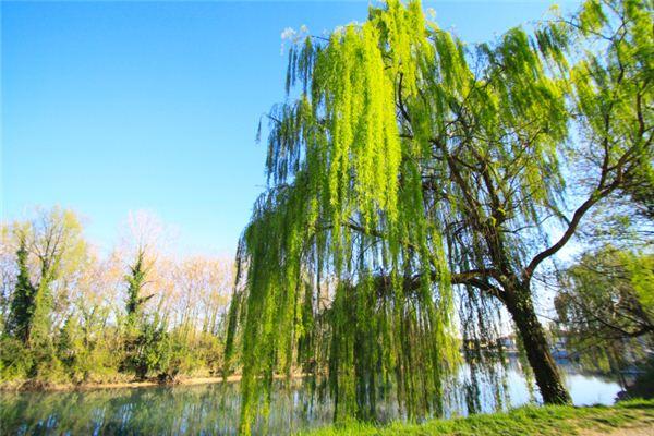 【꿈해몽】꿈에서 바람에 흔들리는 버드 나무 가지의 의미와 상징