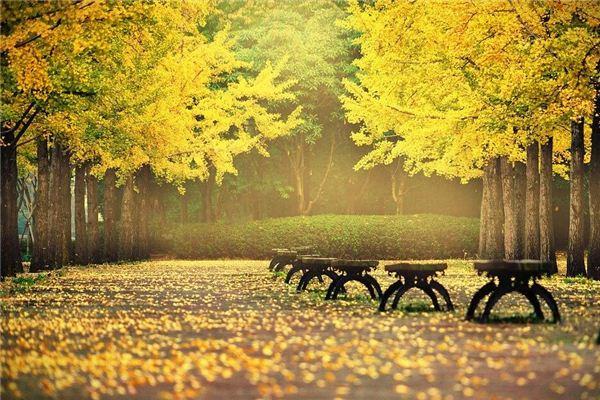【꿈해몽】꿈속에 땅에 흩어져있는 은행잎의 의미와 상징