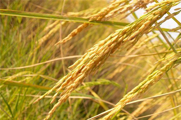 【꿈해몽】쌀 꿈의 의미와 상징